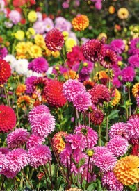 Titelbild der Ausgabe 5/2020 von Dahlienzeit - knallbuntes Blütenmeer im Garten. Zeitschriften als Abo oder epaper bei United Kiosk online kaufen.
